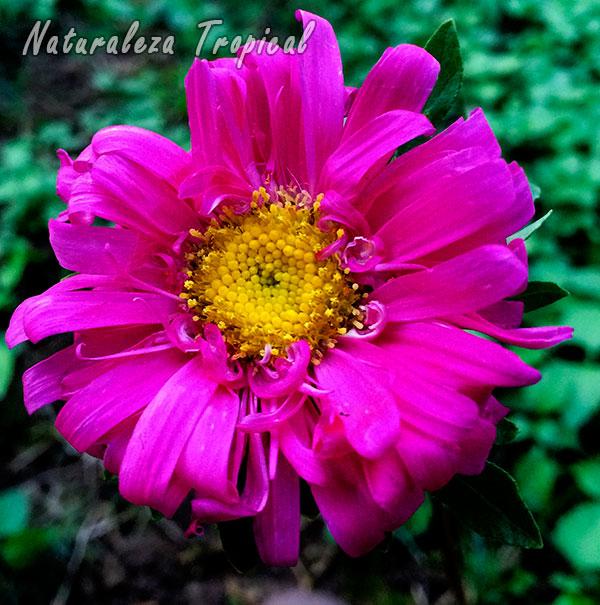 Variedad rosada de la inflorescencia de la Reina Margarita o Extraña Rosa, Callistephus chinensis