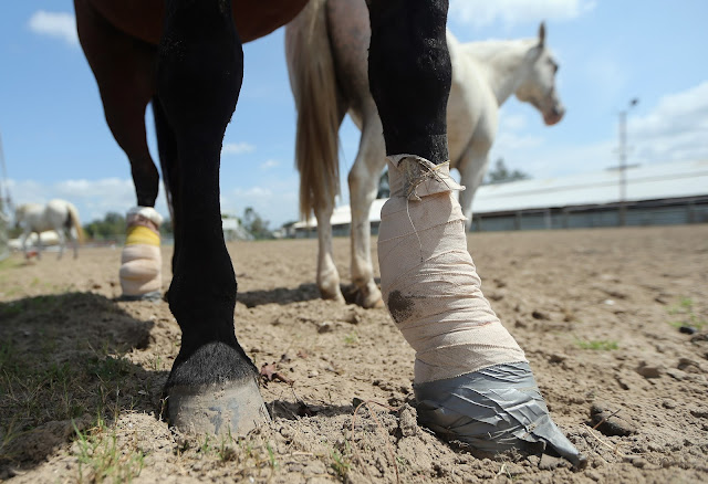 لماذا يقومون بقتل الأحصنة عند كسر ساقها فى سباق او بحادث ؟ لن تصدقوا السبب