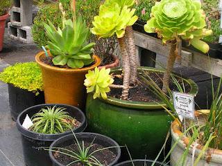 perbedaan-kaktus-dan-sukulen.jpg