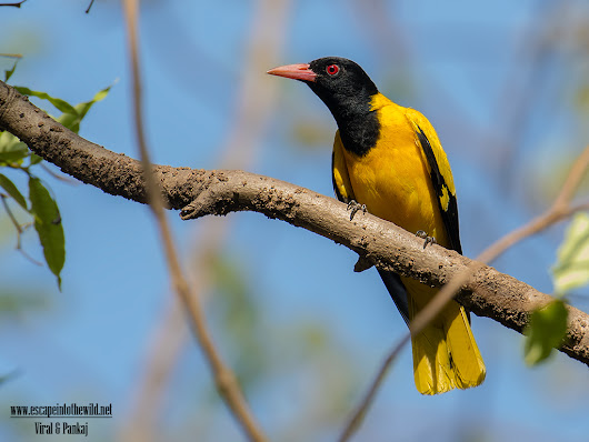 Black-hooded Oriole | Escape into the wild