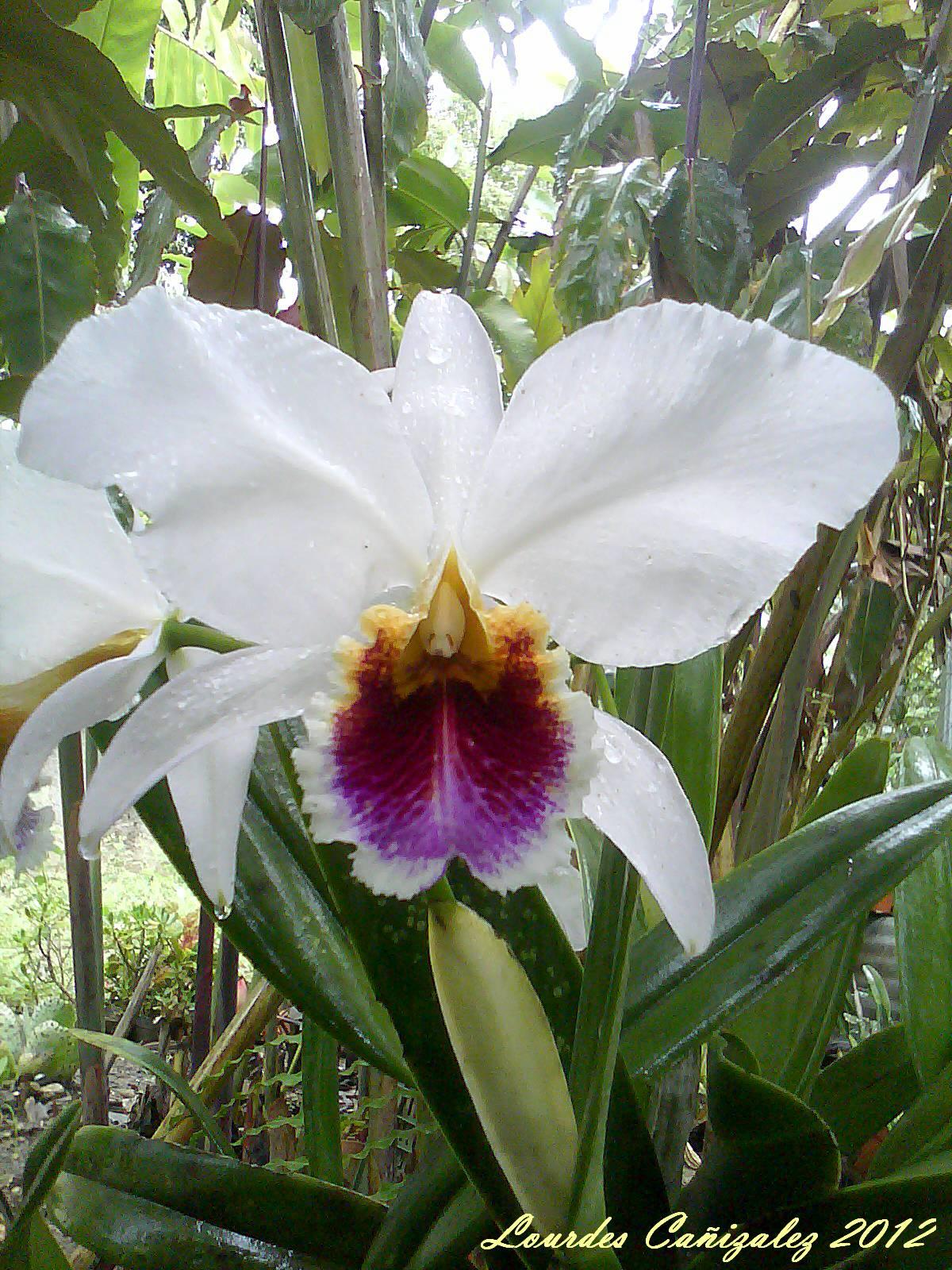 Orqu dea cattleya percivaliana semi alba carache carache for Concepto de plantas ornamentales