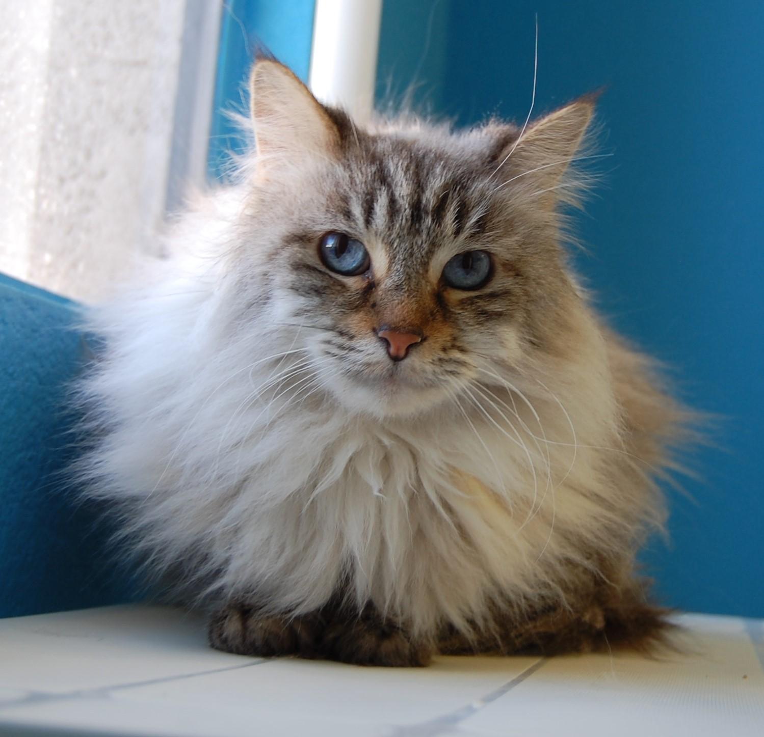 orange tabby cat for sale