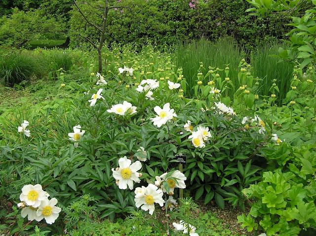biała piwonia o pojedynczych kwiatach