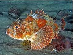 Ikan Hias Air Laut Scorpionfish