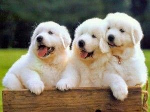 See more Great Pyrenees | Great Pyrenees http://cutepuppyanddog.blogspot.com/