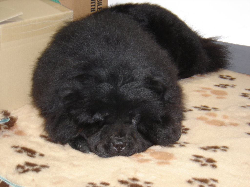 Chow Chow The Puffy Lion Dog Puppies Family