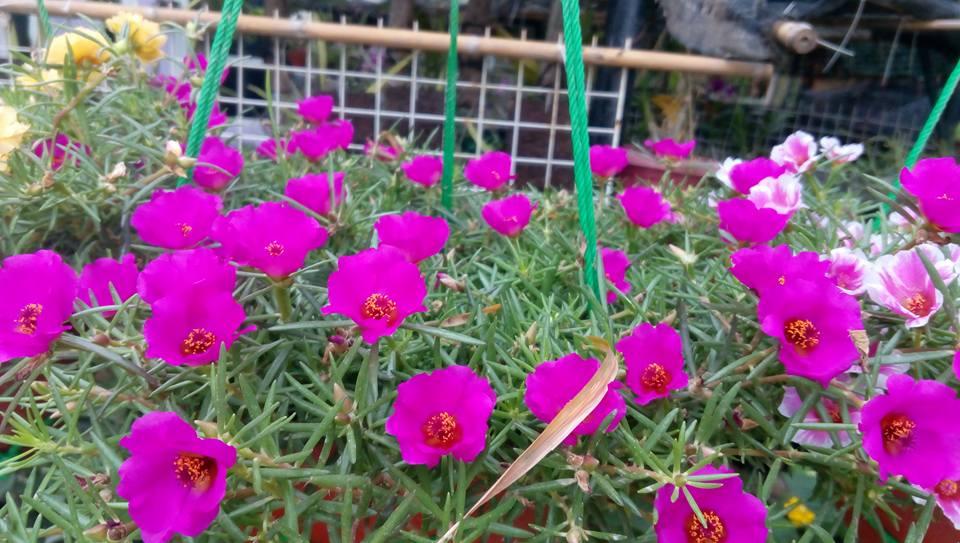 Rumah Bunga Neisha Rumah Bunga Neisha Perawatan Moss Rose Alias Krokot Agar Rajin Berbunga
