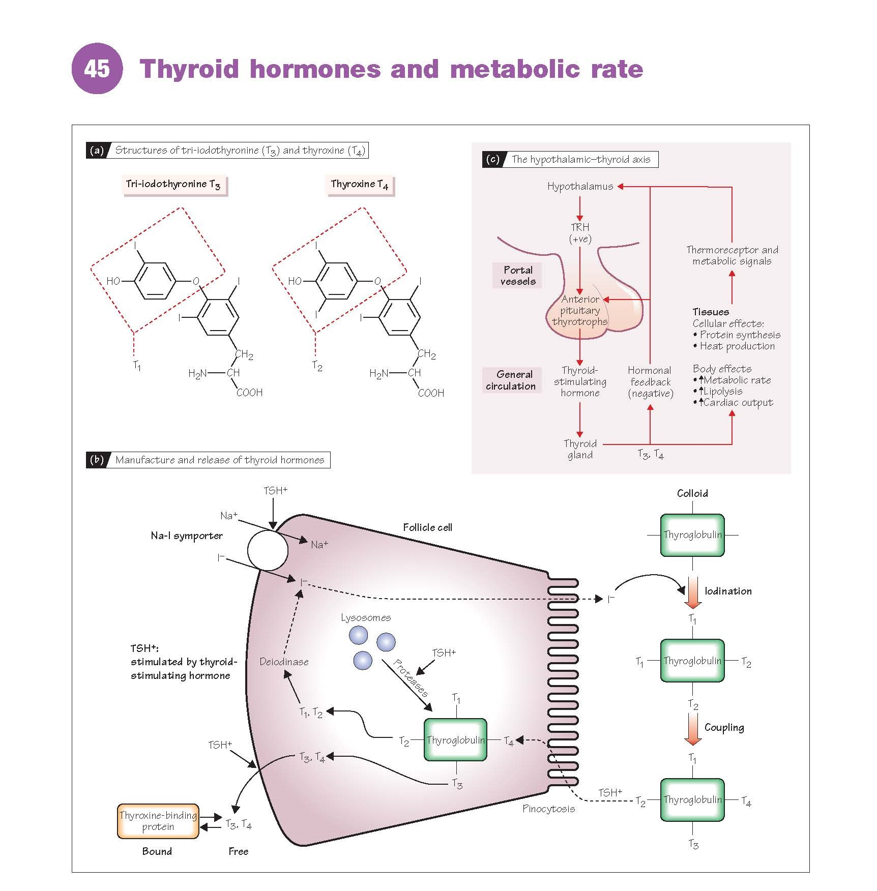 Thyroid Hormones And Metabolic Rate