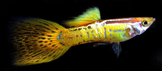 Ikan Guppy Cobra Kuning - Cara Budidaya Ikan