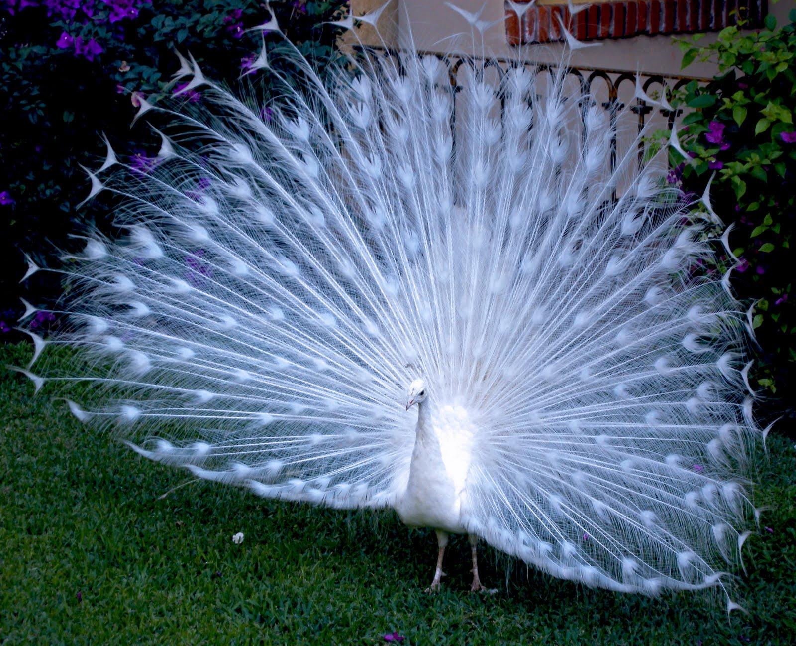 white blue peacock wallpaper - photo #29