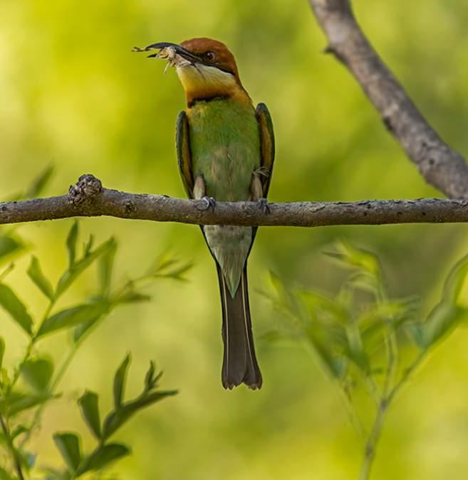Chestnut-headed bee-eater photos | Birds of India | Bird World - photo#17