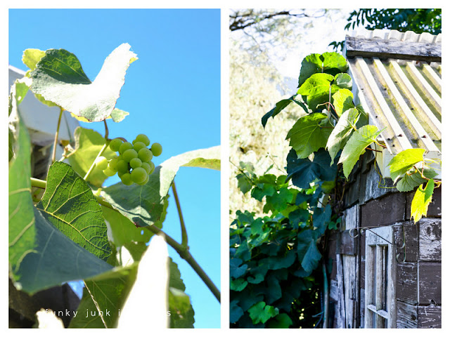 grapevines growing on shed