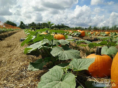 Instructions for Planting Pumpkin Seeds