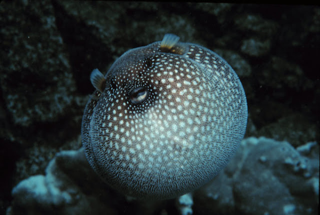 Inflated Guineafowl Puffer