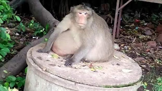 , Overweight Thai monkey checked into boot camp to get treatment for obesity, Latest Nigeria News, Daily Devotionals & Celebrity Gossips - Chidispalace