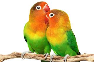 Ternak Burung Lovebirds