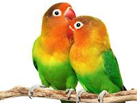 Cara Ternak Burung Lovebird untuk Pemula