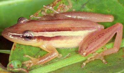 Scinax squalirostris