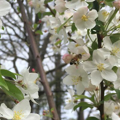 bee, beekeeping, crabapple, redbud tree, trees atlanta, native pollinator,