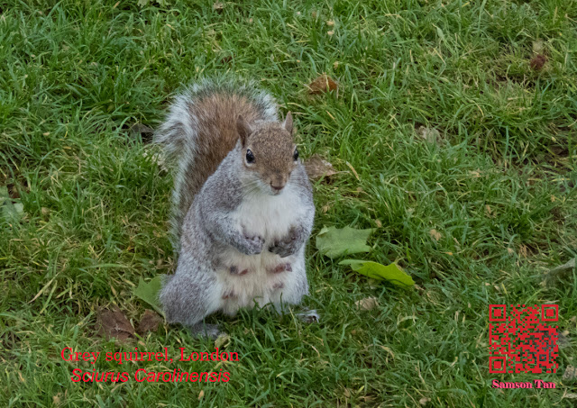 Grey squirrel, London