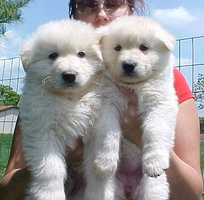 Gallery For > Cute Puppy German Shepherd White