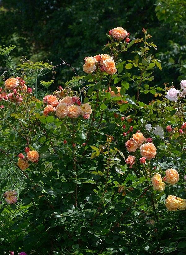Aloha  сорт розы фото