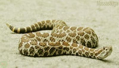 Massasauga snake