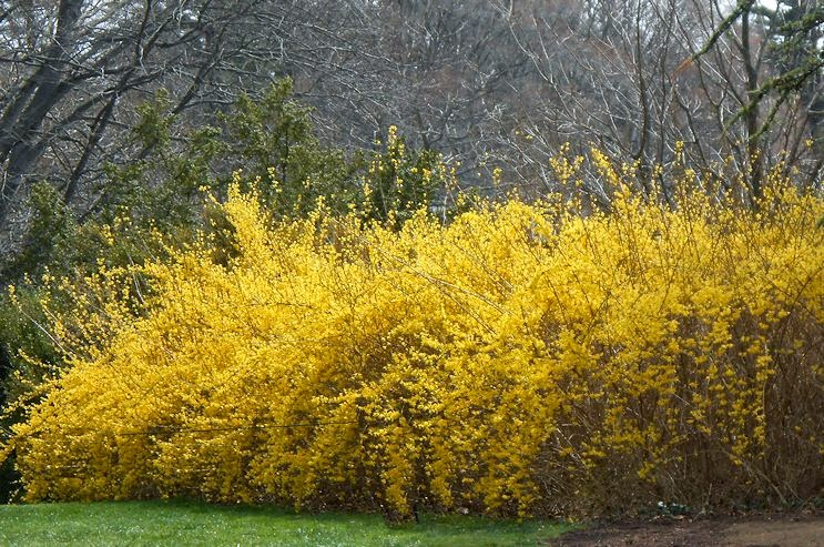 forsythia bush hedge my virtual garden 2 spring at longwood