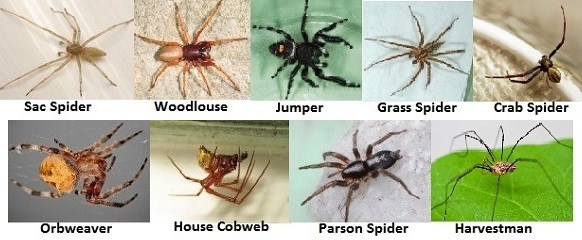 How to tell if a spider is not a brown recluse spiderbytes - wolf spider vs brown recluse