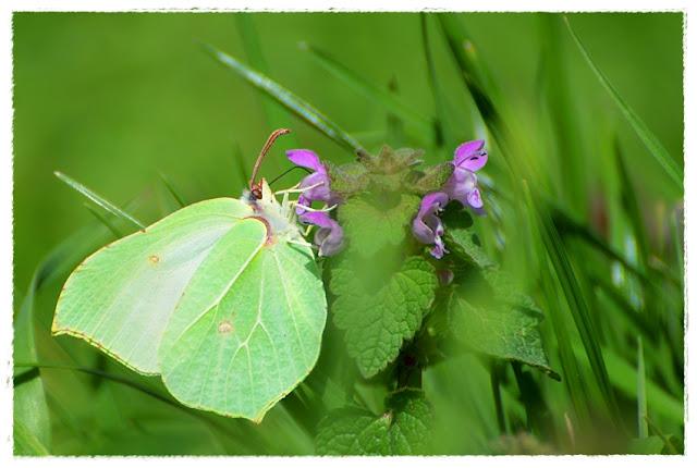papillon citron butinant une fleur de lamier pourpre