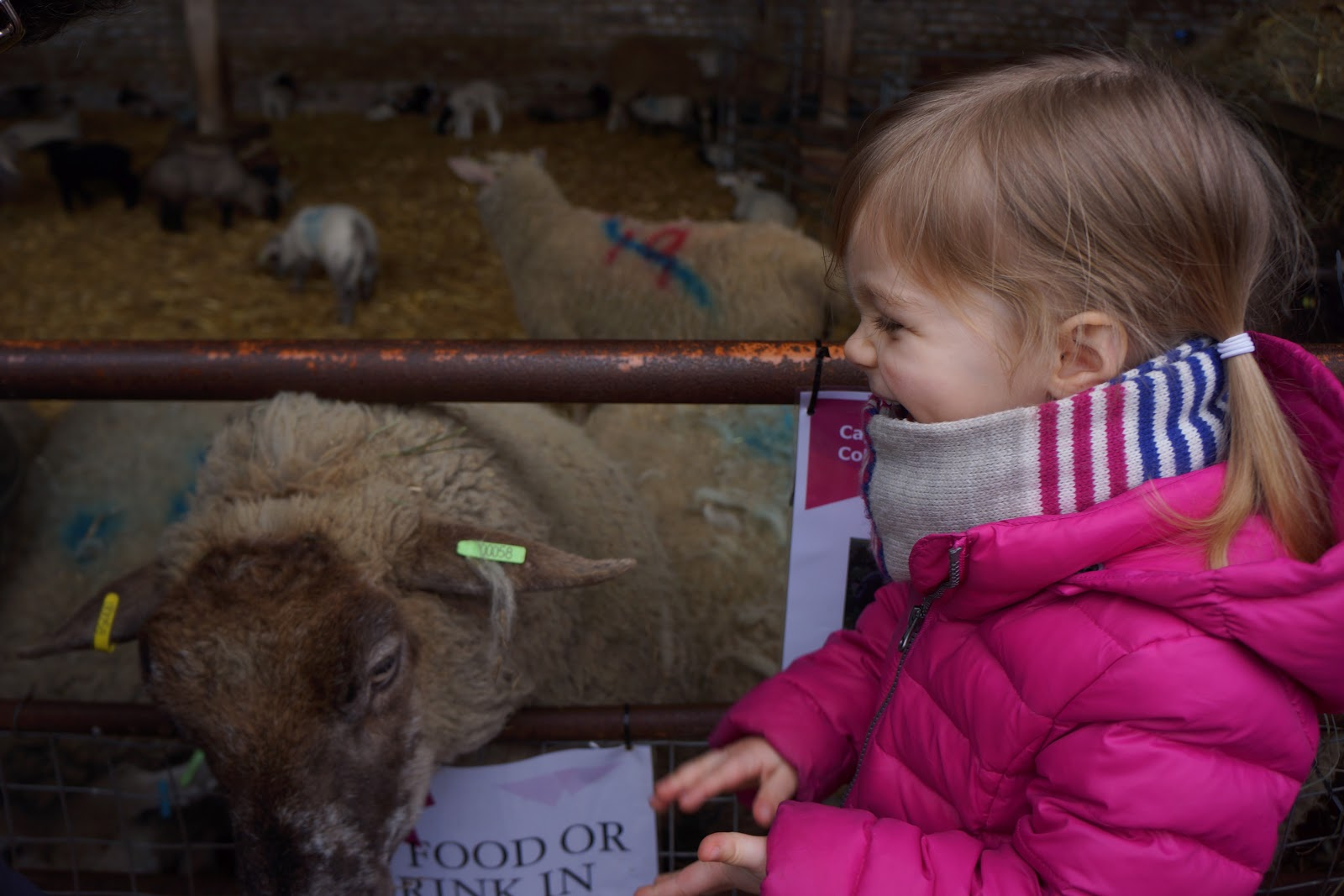 girl laughing next to a lamb