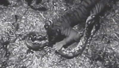 Harimau vs ular piton raksasa.