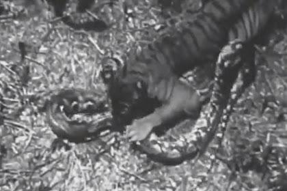 Video Langka Harimau Coba Makan Piton Besar, Ternyata Hasilnya...