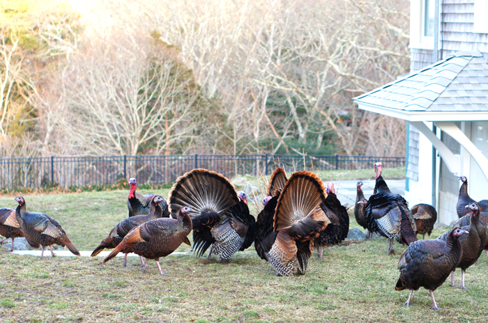 Martha's Vineyard Turkeys