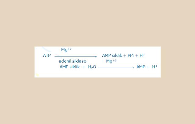ATP dan ADP