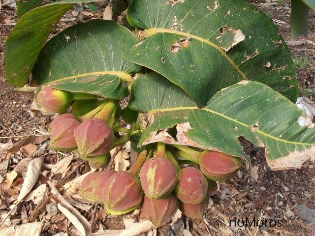 Flores de LAMPATI  Duabanga grandiflora antes de abrir