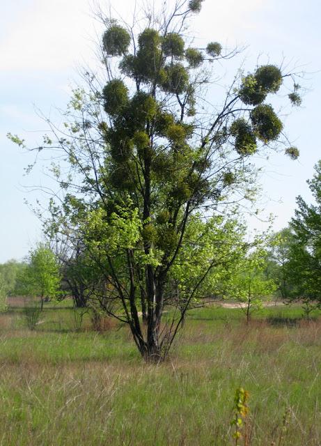 деревья поражены омелой