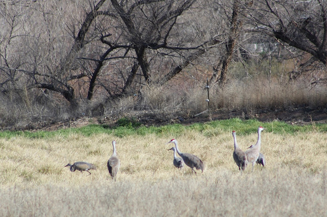 Sandhill Cranes In Epic Oak Grove >> Tommy D S Birding Expeditions Exploring Greenlee County Arizona