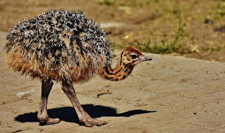 balapan burung unta,video burung unta,telur burung unta,jual burung unta