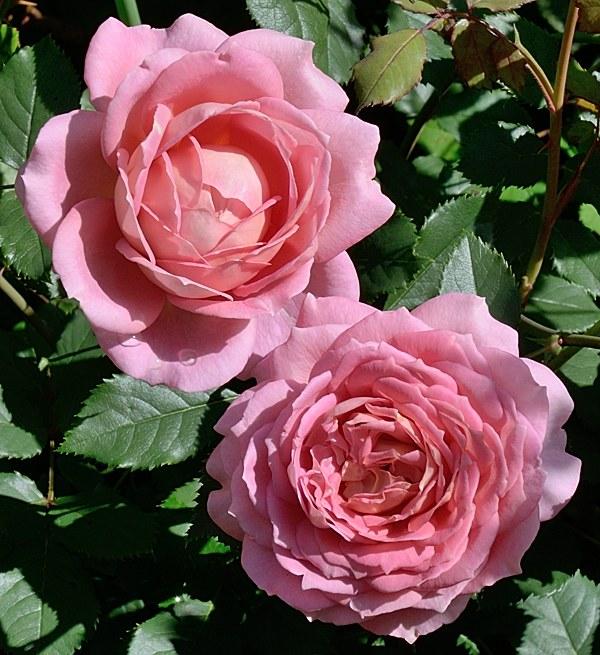 Jubilee Celebration сорт розы фото