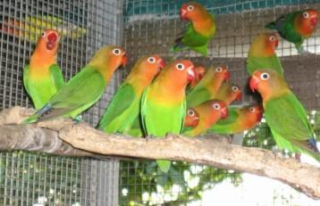 JOGJA BIRD FARM: Cara Budidaya Ternak Burung Love Bird