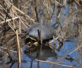 large turtle sunning itself in the reeds of a salt marsh
