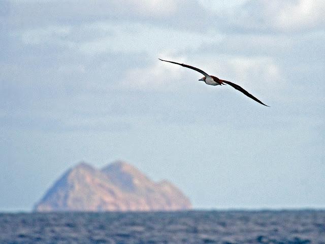 Brown Booby Islas Coronados