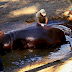 Photo: Police In El Salvador Investigating Brutal Attack On Hippopotamus