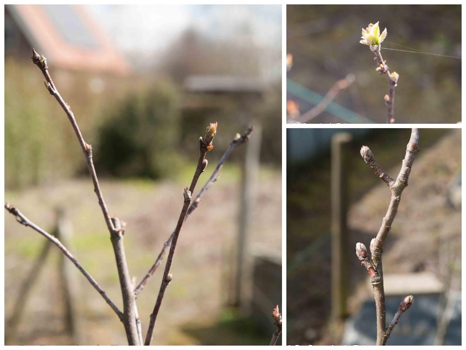 moestuin volkstuin lente voorjaar knoppen appel