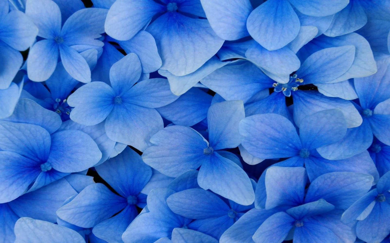 Blue And White Flower Wallpaper: Black And White Wallpapers: Close-up Blue Flowers Blue