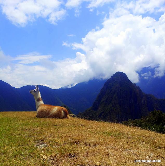 {ErinOutandAbout} The llamas of Machu Picchu