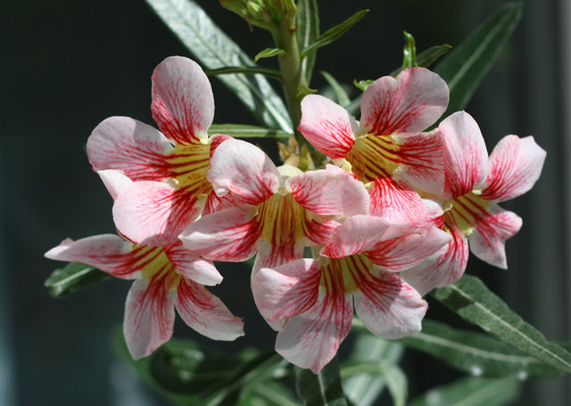 Adenium somalense var. ctispum.