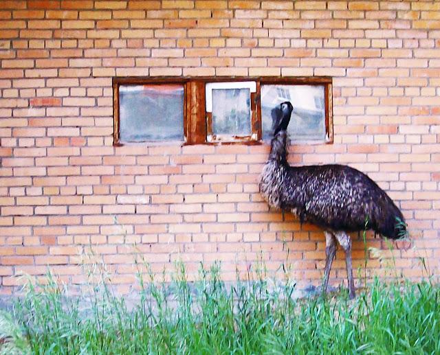 Самарский детский эколого-биологический центр: третья по размеру птица в мире - страус эму