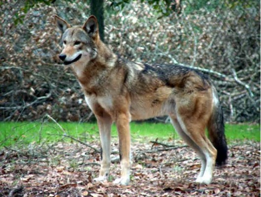 Rare Animals Blog, Protect Rare Animals: Red Wolf